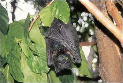 Fanihi (Fruit Bat)
